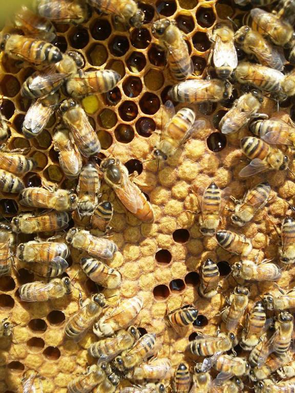 У пчелы на лбу белый налет