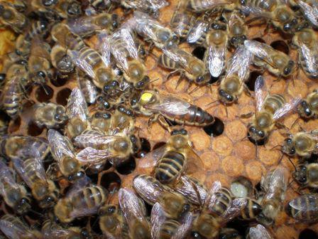 Матка та бджоли Рахівського типу. 1.JPG
