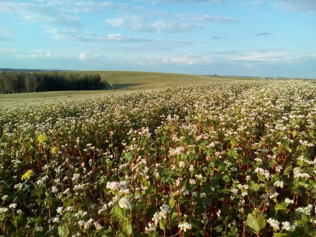 Картинки по Ðапросу фото гиф гречка цветет на полях