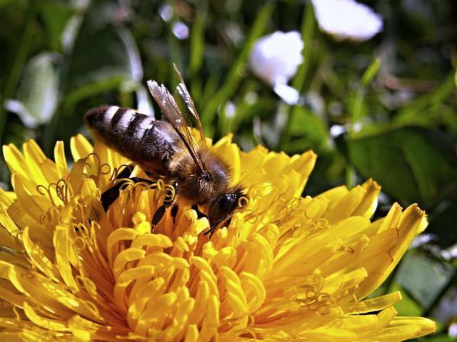 bee-dandelion-macro-spring-70572.jpeg