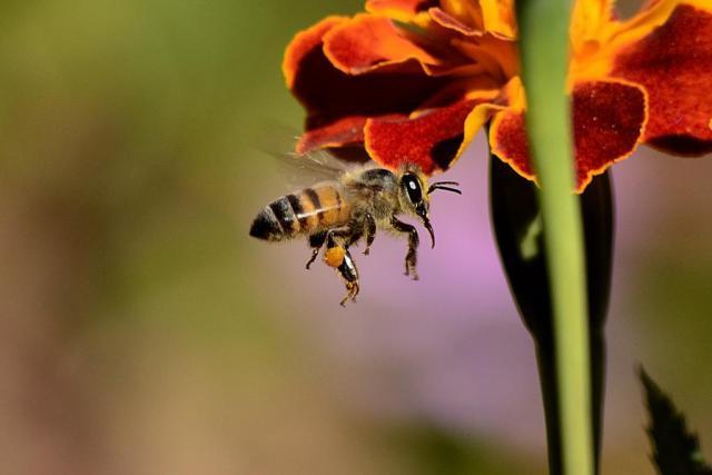 bee-sting-honey-bee-wings-60569.jpeg