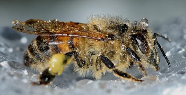 insects-hymenoptera-apis-mellifera.jpg