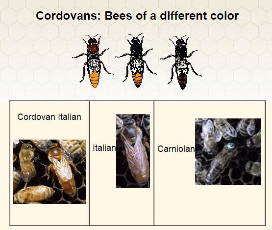 Кордован(італійка).jpg