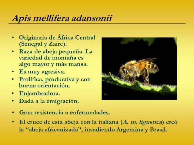 5a63726f6dac9_Apismelliferaadansonii.thumb.jpg.a8096b448d3950553a7cc355e8a064ce.jpg