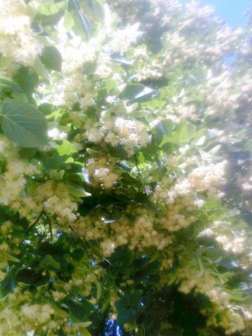 Цвііт липи.jpg