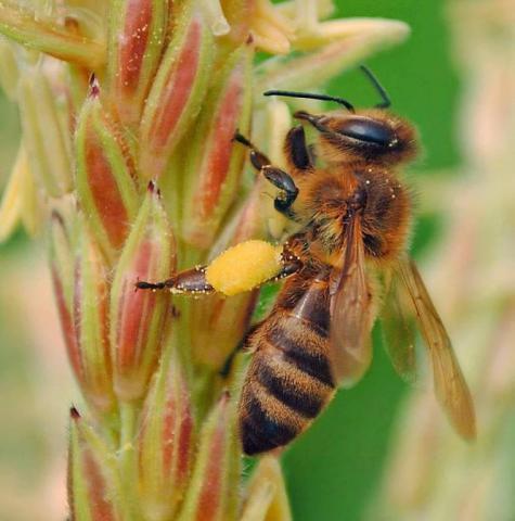бджола 1.jpg