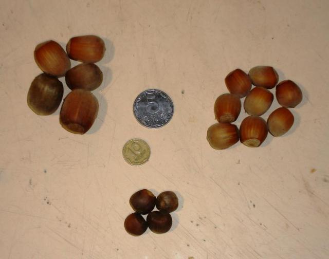 Орехи сортов фундука.JPG