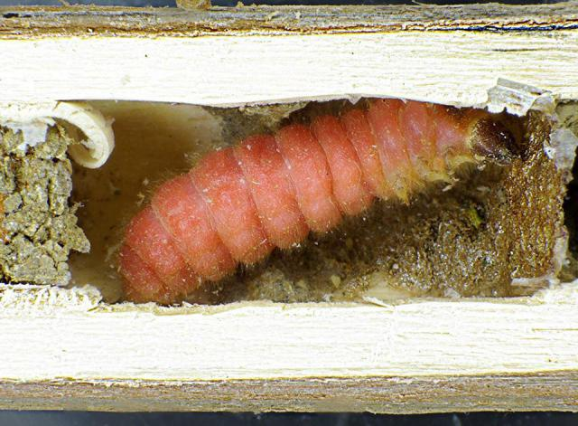 личинка бджоложука орудує в очеретині.jpg