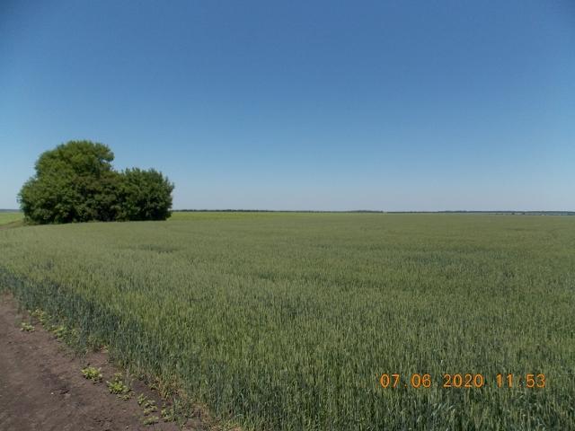 пшеница и сонях (640x480).jpg